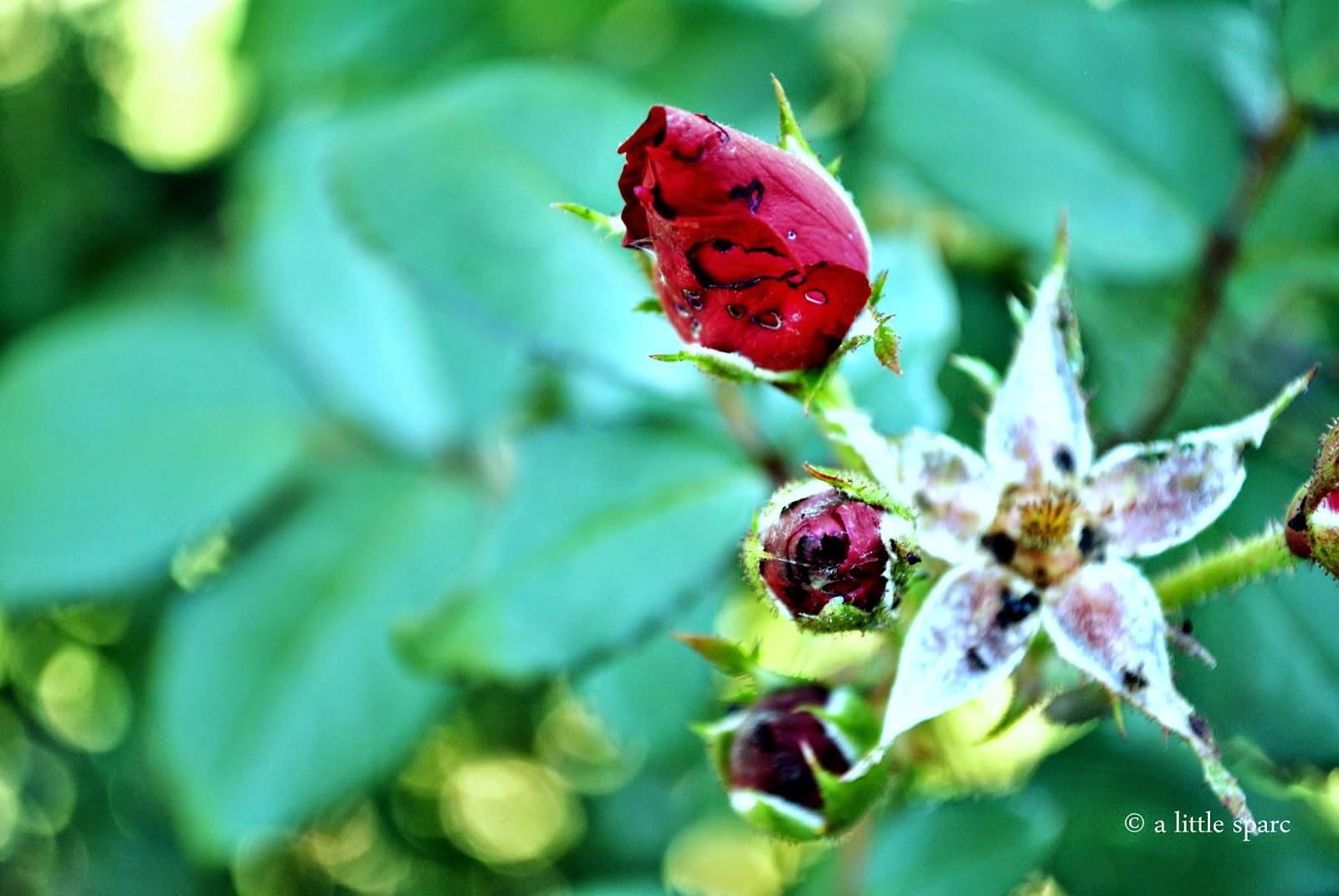 sweetness of a rose