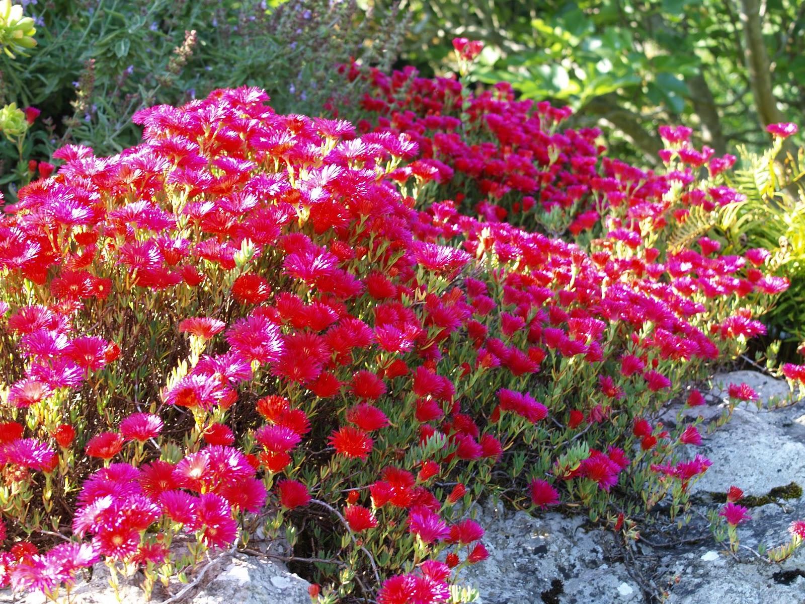 Disfrutar con el huerto y el jard n mayo 2013 - Plantas para rocallas ...