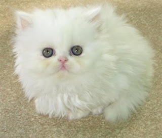 white persian cats picture