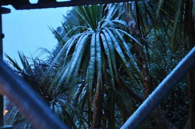Snow-clad cabbage tree
