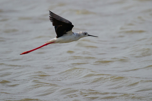 A Black-winged Stilt photographed in Yala, Sri Lanka