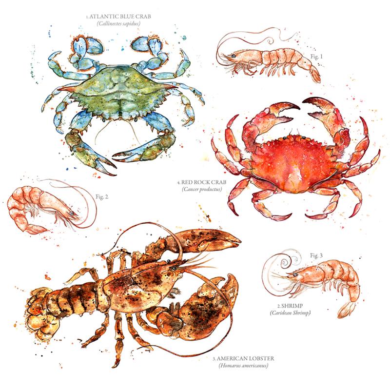 Amy Holliday Illustration : Sealife/Crustaceans Series: Edible ...