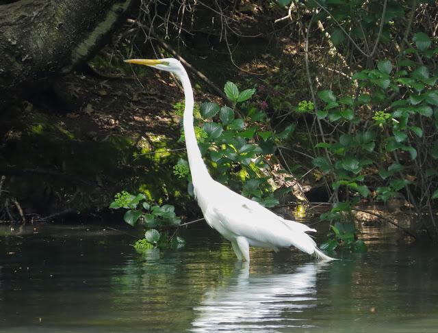 Great Egret - Central Park, New York
