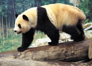 Oso Panda gigante caminando sobre tronco