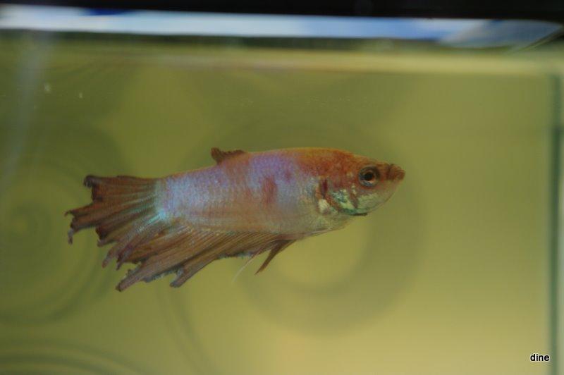 betta avec la maladie de la pourriture des nageoires