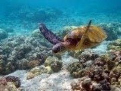 Save the hawksbill turtles