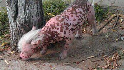 Anjing Mirip Seekor Khinzir Di China