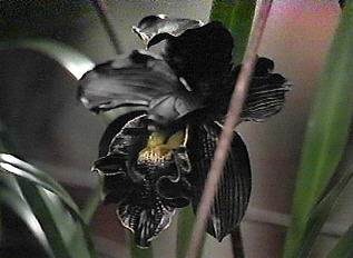 White house flower czar herald ideas floral bloom flowers orchids on orchid guides blog black and white orchid flower meaning mightylinksfo