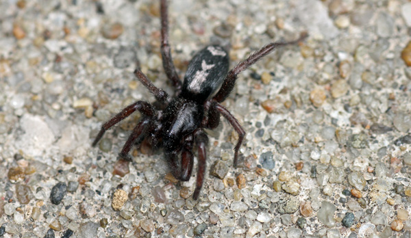 Mobugs Eastern Parson S Spider