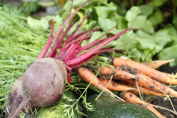 vastanostetut kasvikset porkkana punajuuri