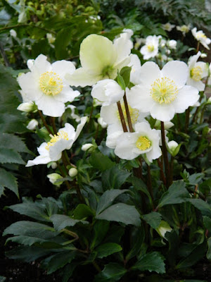Helleborus niger HGC Jacob Allan Gardens Conservatory Christmas Flower Show 2015 by garden muses-not another Toronto gardening blog