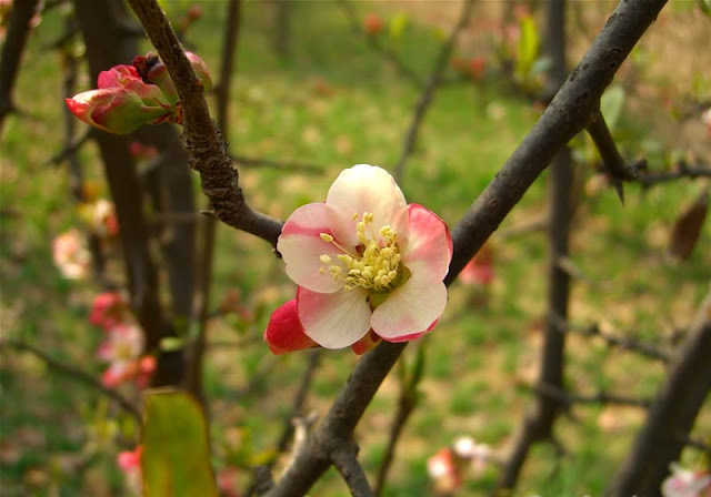 Flowering Quince Pictures