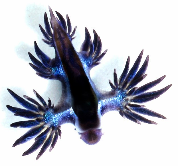 Image showing a Glaucus marginatus