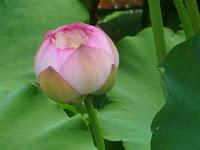 ハスの花は「紅蓮(こうれん)」と言う。
