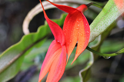 Masdevallia veitichiana on the climb up Wayna Picchu [13.157 S, 72.546 W]