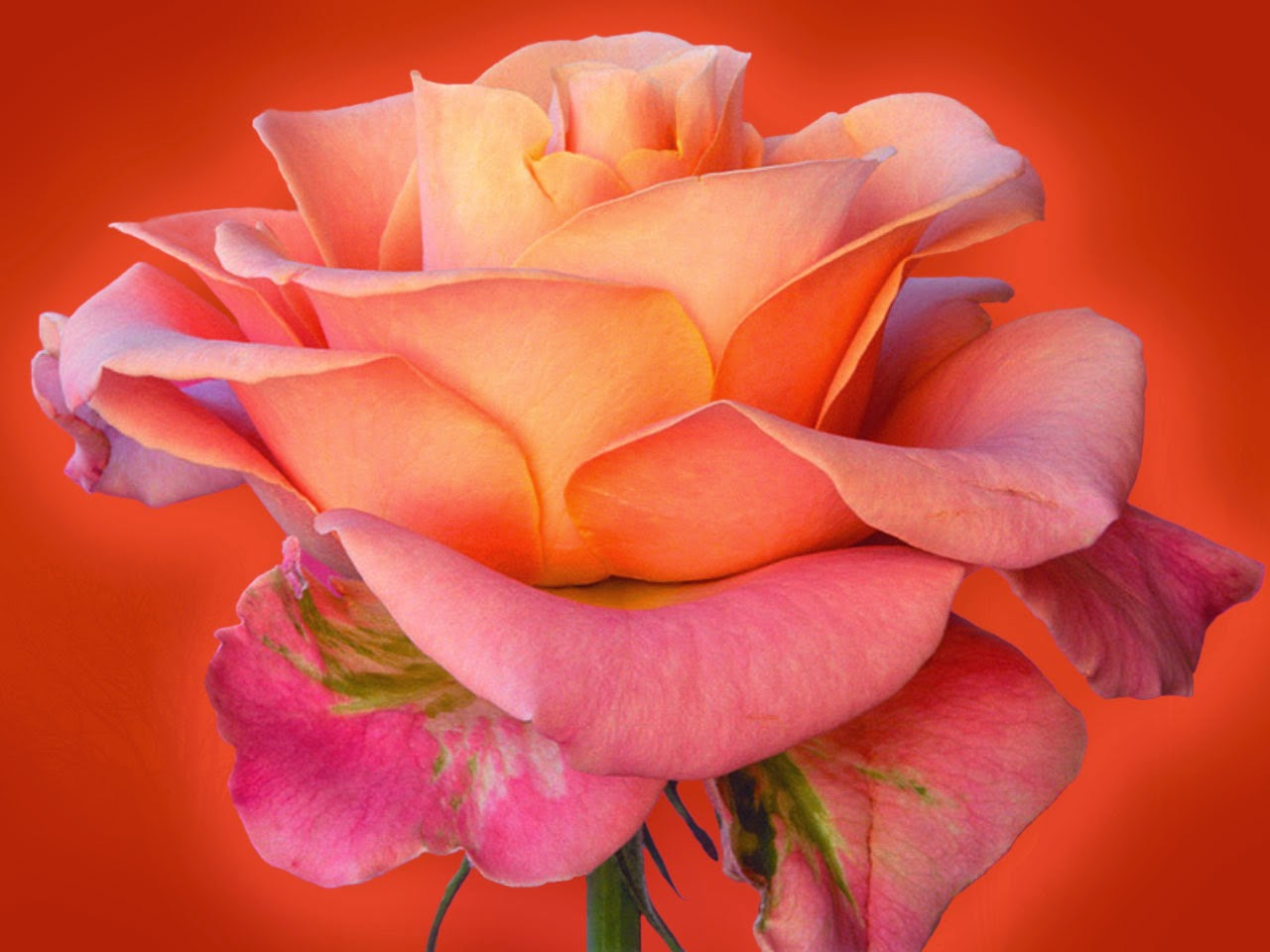Beautiful Orange Rose Flowers Hd Wallpapers