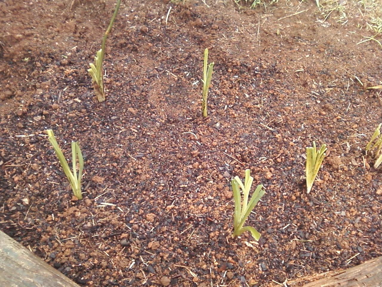 nice planting daylilies Part - 2: nice planting daylilies nice design