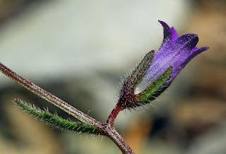 Ένα σπάνιο φυτό με την ονομασία canula