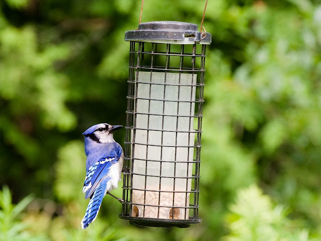 bluejay at bird feeding station in Grants Woods, Orillia