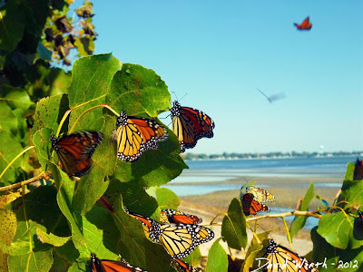 Migrating Monarch Butterflies, Michigan, Lake Erie