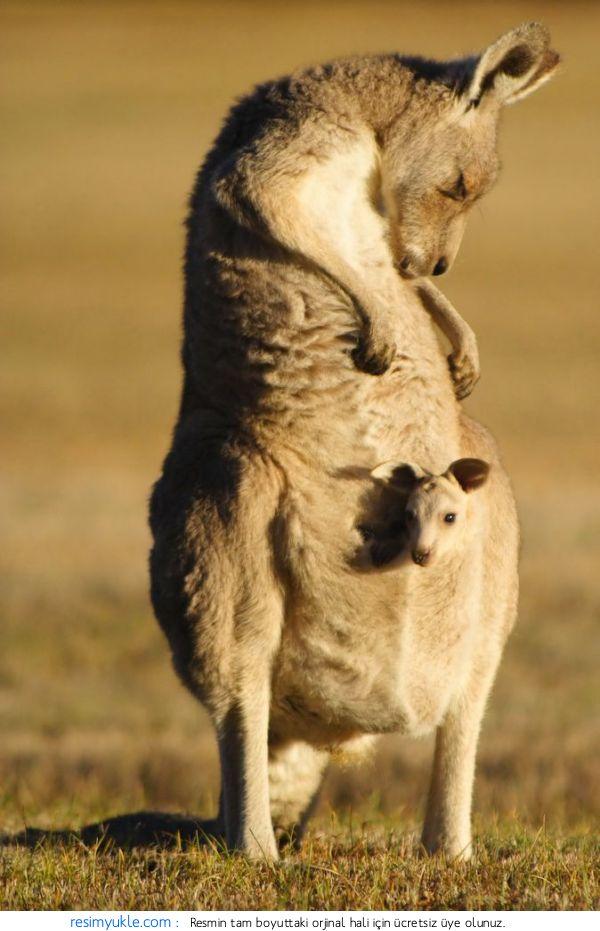 Tarım Siteniz Kanguru Kangaroo