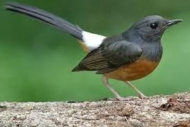 Foto Burung Murai Update Harga Terbaru