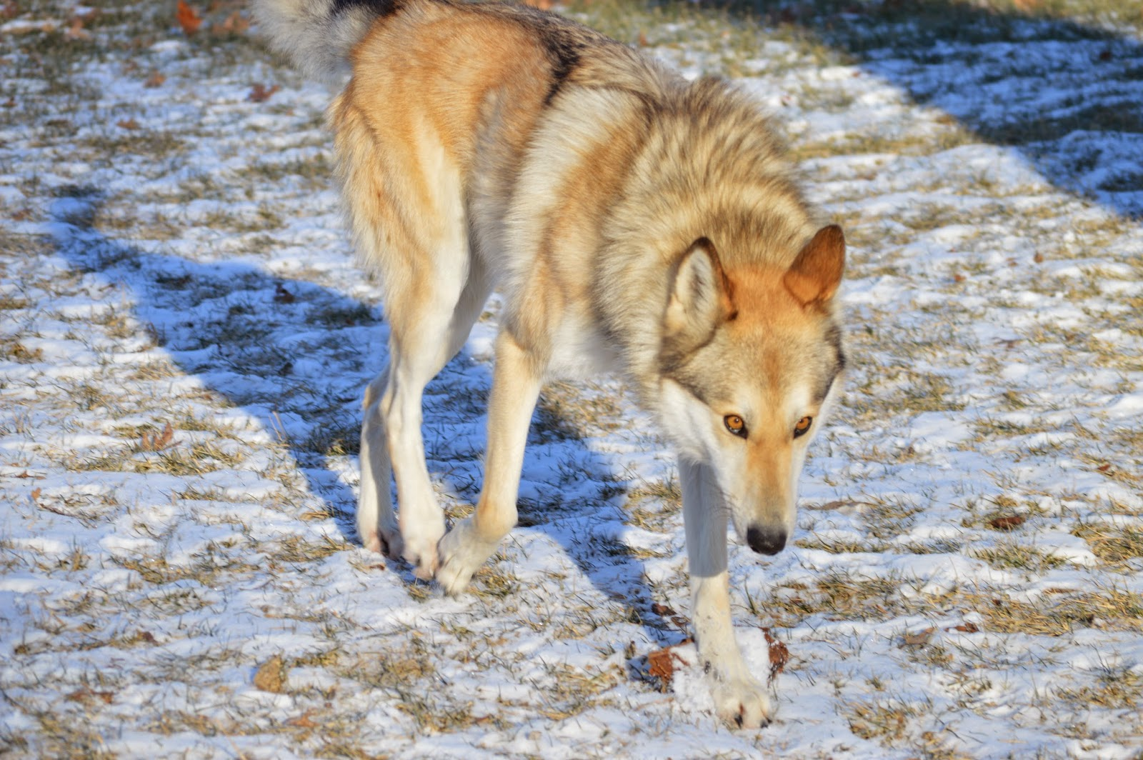 wolfdog single tracking