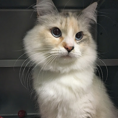 Gorgeous Siamese cat in a shelter