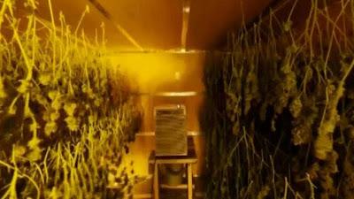 cultivo de maconha em casa