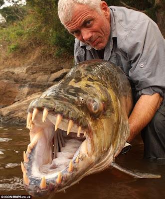 Goliath Tigerfish, Ikan Paling Ganas di Dunia