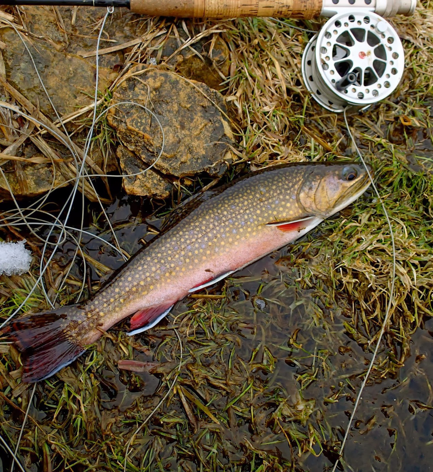 Brauntrutta brook trout tigers and beers with a fly for Trout fishing spots near me