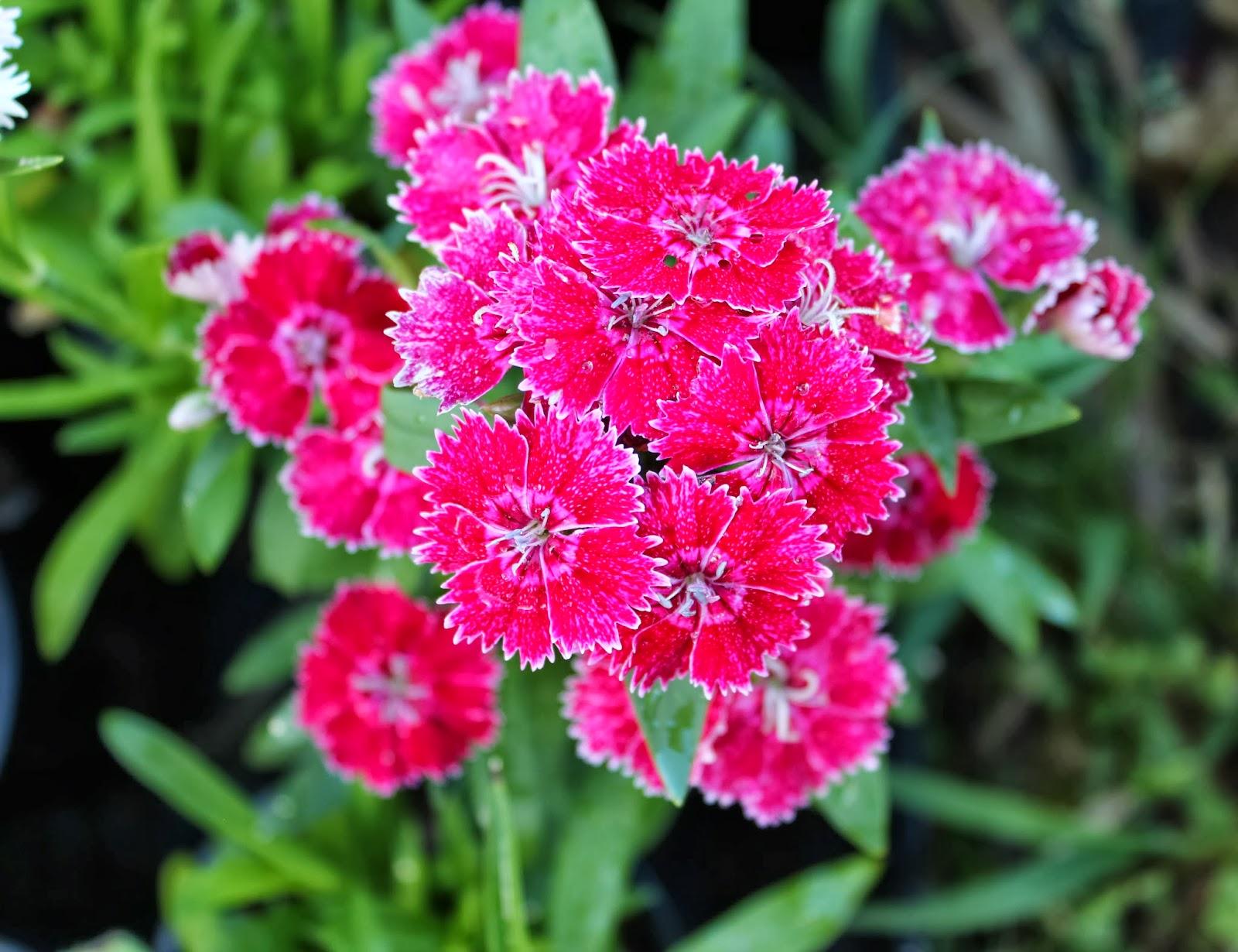 Florez Nursery Dianthus Chinensis Chinese Pink