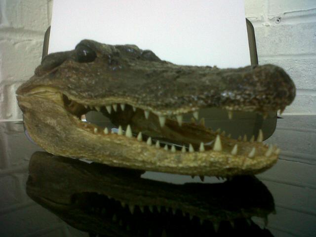 http://2.bp.blogspot.com/-vBG8qKt0xkI/TkA5YmD8pkI/AAAAAAAAACo/jnwu5vMhdQ8/s1600/Alligator.jpg