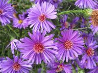 September Flower Of The Month