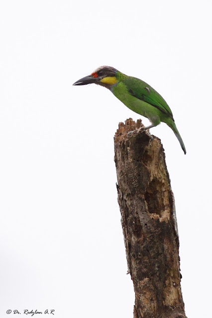 Gold-whiskered Barbet (Megalaima chrysopogon)