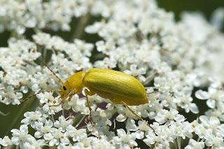 Para ampliar Cteniopus flavus (Escarabajo de azufre) hacer clic