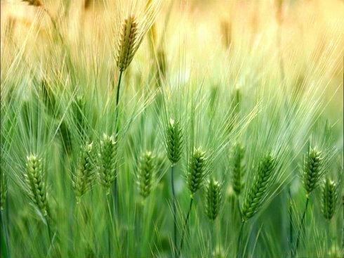 Parched_Barley.jpg