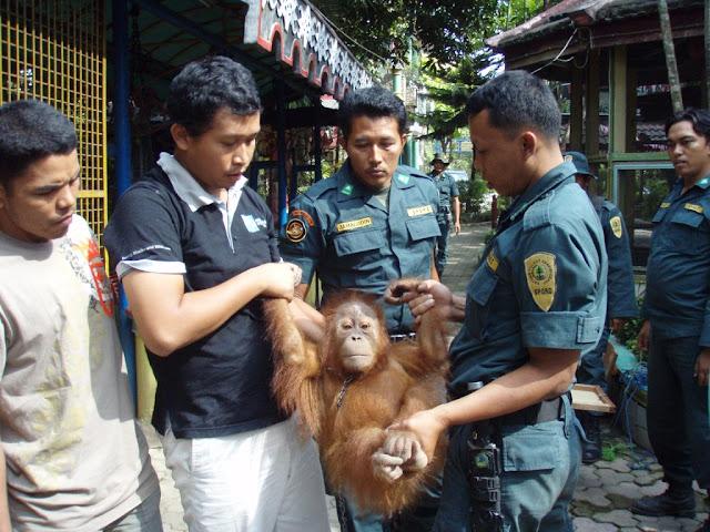 Kasus Orangutan, COP Dukung Upaya Menhut