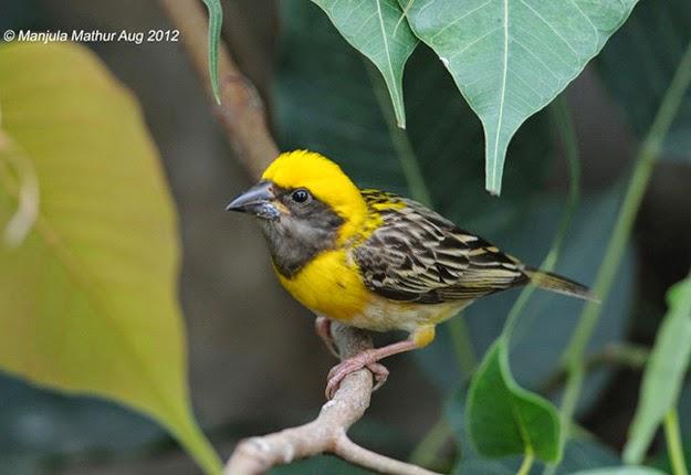 Gambar Cara Merawat Burung Mbotok