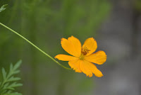 Áo nàng vàng anh về yêu hoa cúc
