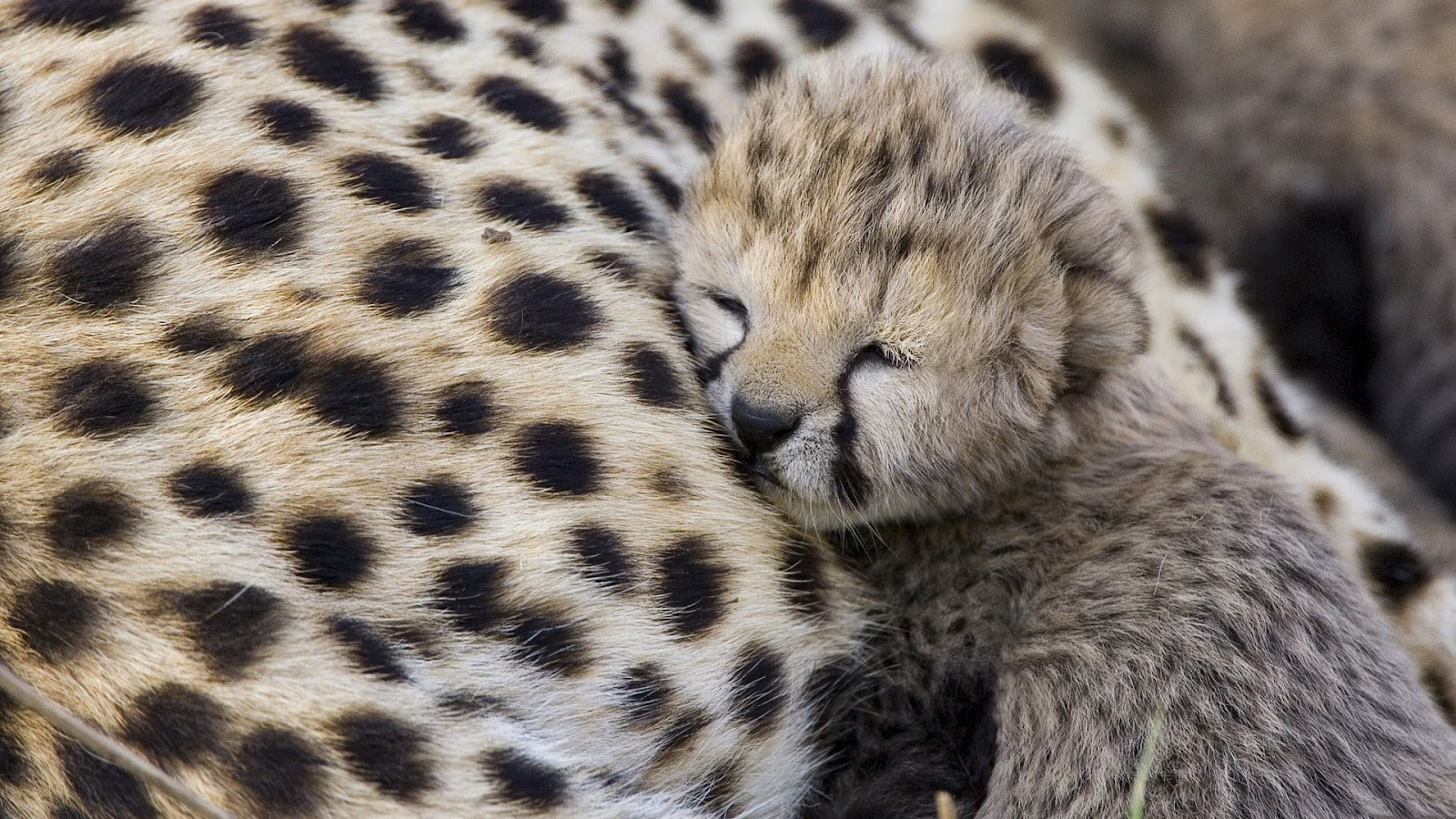 http://2.bp.blogspot.com/-vCSSElFH5NM/T3SiLl_IxmI/AAAAAAAABCI/52x4dyDB1Ik/s1600/Cheetah+with+its+child.jpg
