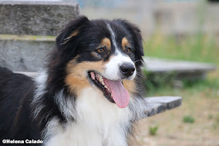 portrait photo of my Australian Shepherd