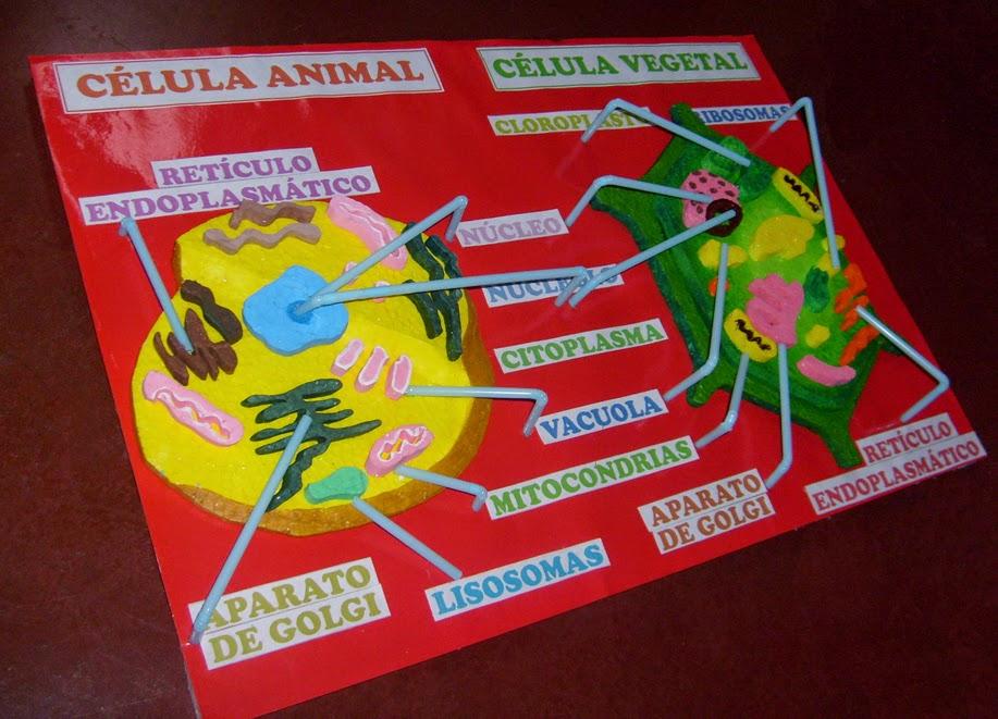 Celula Animal Y Vegetal Maqueta La clase de 5ºb y 6ºb: tarea