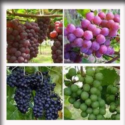 macam-macam_anggur
