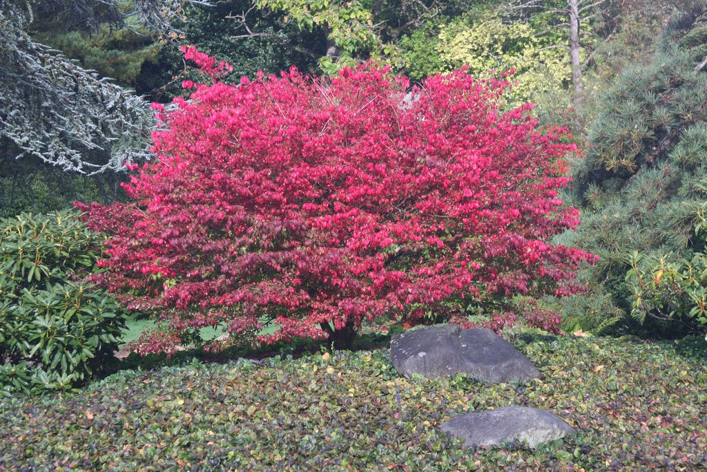 Flora wonder blog gardens visited during the maple for Euonymus alatus