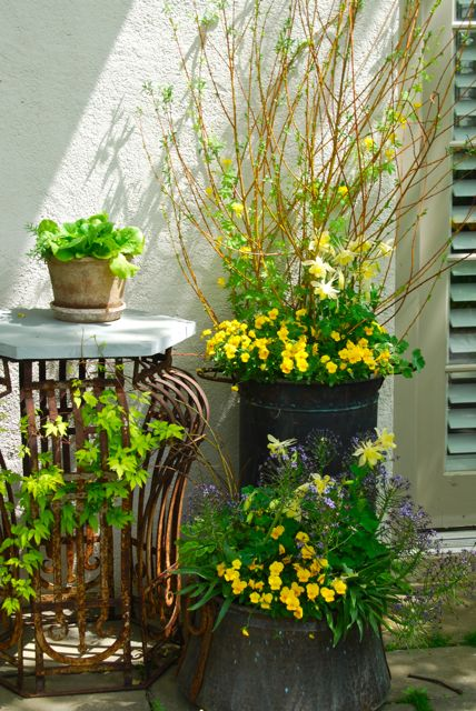Pretty container arrangements are in every free space at Chanticleer. Here on the west side of the house are yellow Violas and columbine (Aquilegia) to accompany the yellow tulips for the spring season.