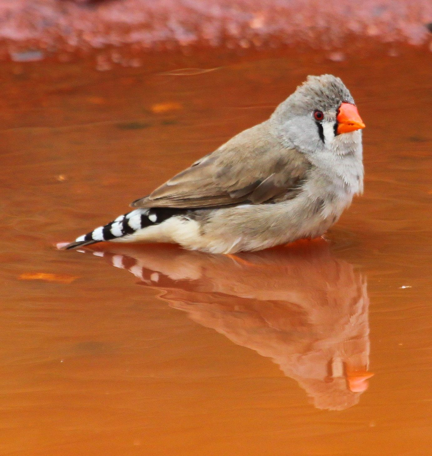 ... Birds of Australia: Wild Zebra Finch Bath Time - Photos and Video