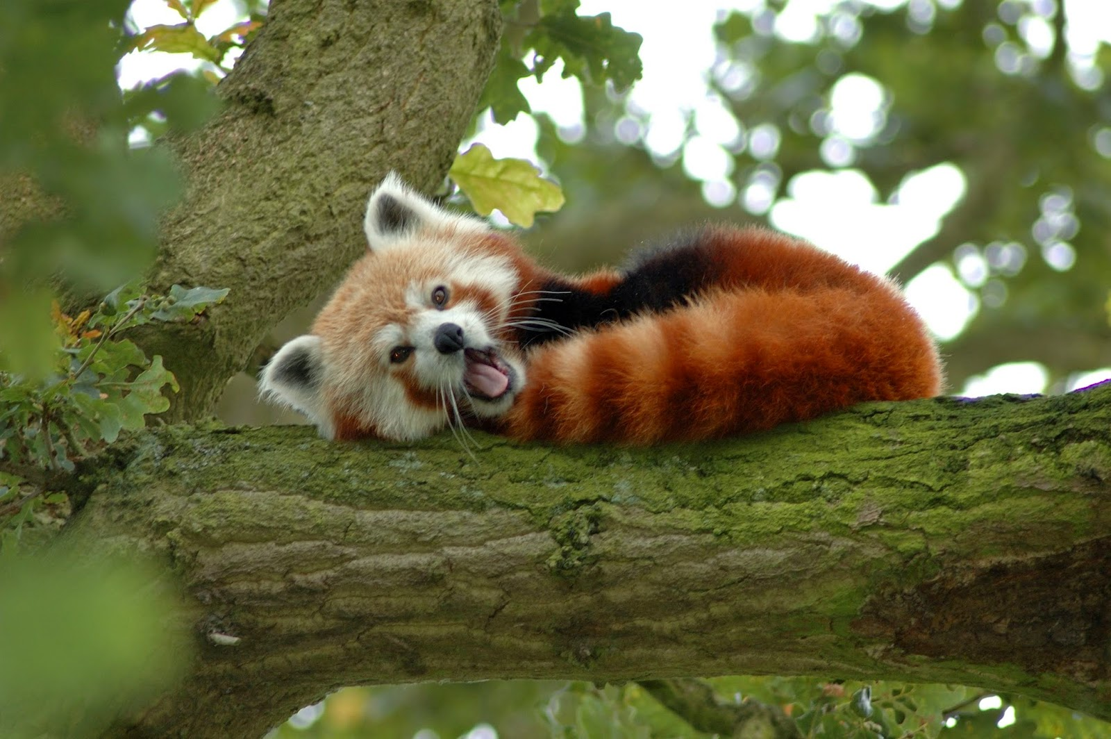 40 Adorable red panda pictures (40 pics), red panda on the tree yawning