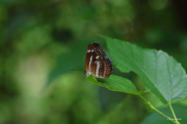 雞南山散步,台灣環蛺蝶