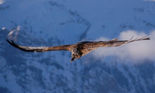 10 Burung dengan Rentang Sayap Terlebar di Dunia: Burung Manyar Berjenggot (Gypaetus barbatus)